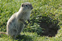 0522_GroundSquirrel1