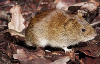 A vole. Photo by Evan James hymo/Wikipedia