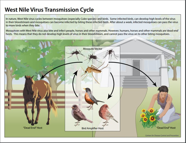 WNV cycle graphic